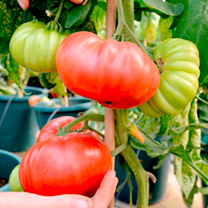 Grafted Tomato Plants F1 Crimson Beefsteak