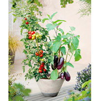 Grafted Tomato Plants - Twins Collection