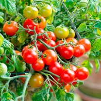 Tomato Tumbling Bella Plants + Wicker Hanging Basket