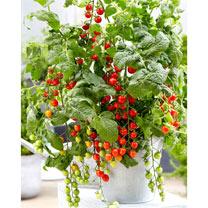 Tomato Grafted Plants - Tutti Frutti Red Berry