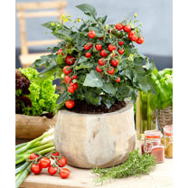 Tomato Windowsill Plant - Ponchi-Re
