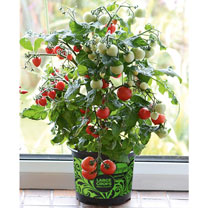 Extra small tomato plants, growing to 20-25cm tall, perfect for a windowsill. Small, sweet, cherry-sized fruit, perfect for snacking and for salads. K
