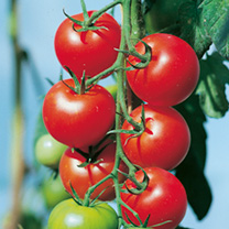 Tomato F1 Fantasio Seeds