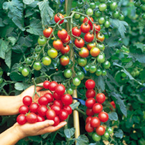 A heavy cropping tomato, producing luscious, shiny, red cherry-sized fruit that keep well over a long period. Ideal for the greenhouse or a sunny pati