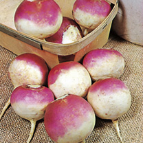 This purple and white skinned turnip can be spring sown for summer and autumn lifting or, because of its hardiness, sown later for winter use through