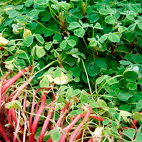 New Zealand Yam Plants - Oca