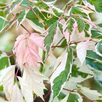 Acer Plant - Flamingo