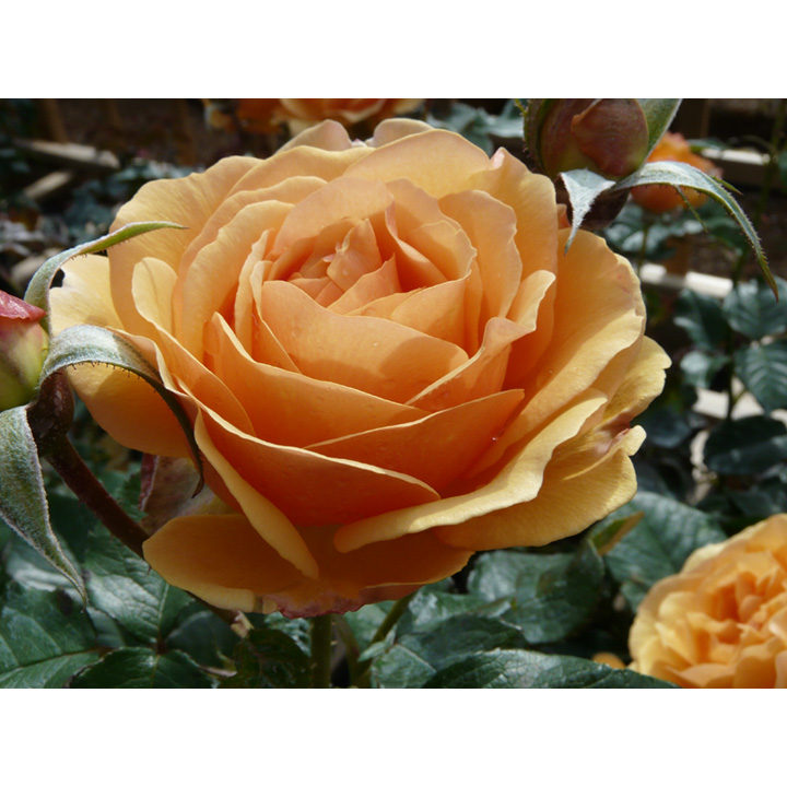 Rose Plant - Amber Queen