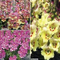 Antirrhinum Plants - Antirinca Collection