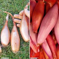 Shallot Banana Plants - Twin Pack
