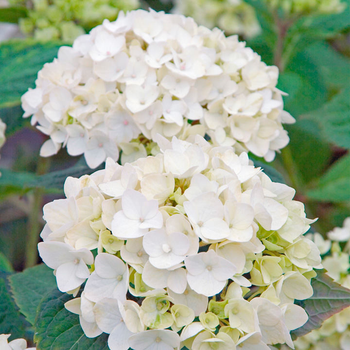 Hydrangea Plant Endless Summer - The Bride