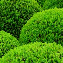 Buxus Ball Plants