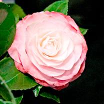 Camellia Plant - Desire