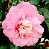 Camellia Plant - Elegans