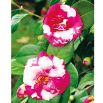 Camellia Plant - Nagasaki