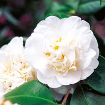 Camellia Plant - Nobilissima