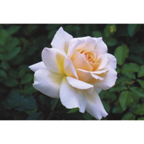 Rose Plant - Chandos Beauty