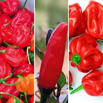 Pepper Chilli Grafted Plants - Connoisseurs Collection