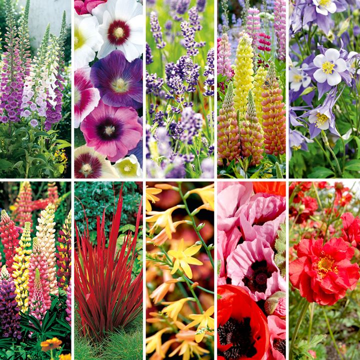 Perennial Plants - Colour Bomb Collection