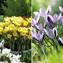 Crocus Bulbs - Twin Pack
