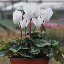 Mini Cyclamen Plants - Collection