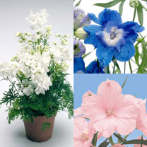 Delphinium Plants - Summer Collection