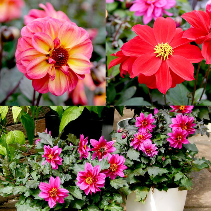 Dahlia Plants - Dreamy Collection