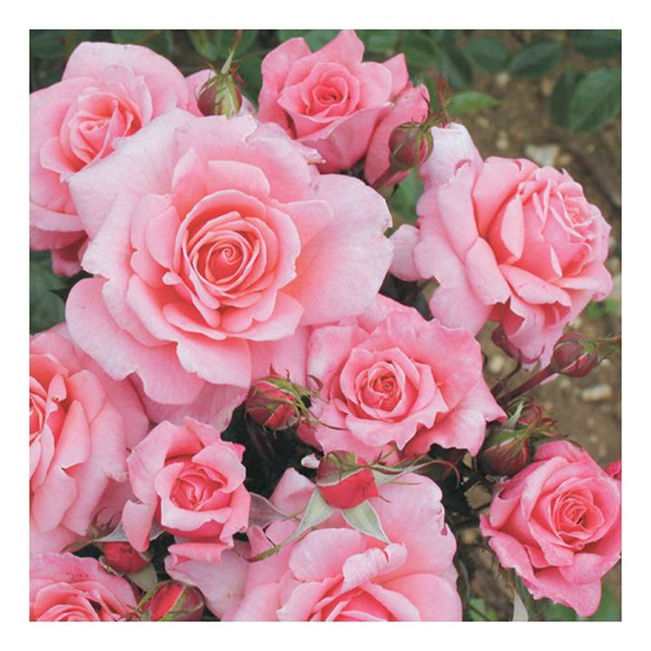 Rose Plant - Equity