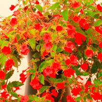 Achimenes Plant - Erecta