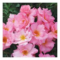 Rose Plant - Esperanza