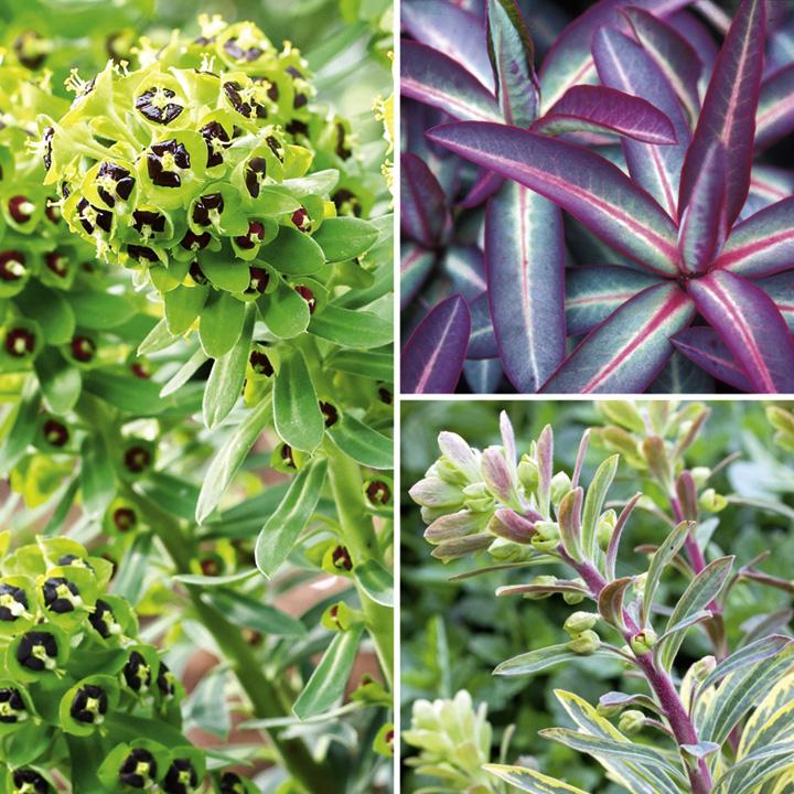 Euphorbia Plants And Flowers Ltd Euphorbia Plant Collection