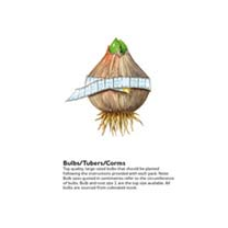 Allium Bulbs - Hair