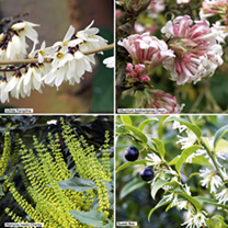 Fragrant Winter Flowering Plants - Collection