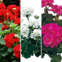 Geranium Plants - Zonal Collection