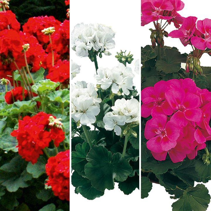 Geranium Plants - Zonal Collection