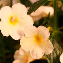 Achimenes Plant - Golden Butterfly