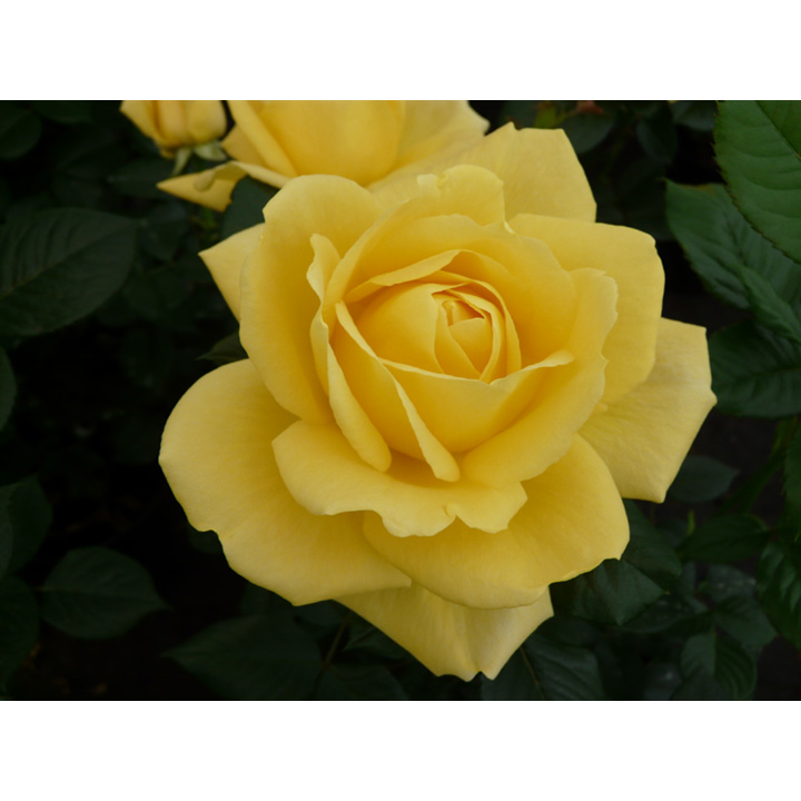 Rose Plant - Guy's Gold