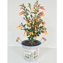 Jacobinia pauciflora Plant - Firefly