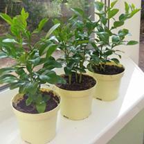 Kaffir Lime Plants