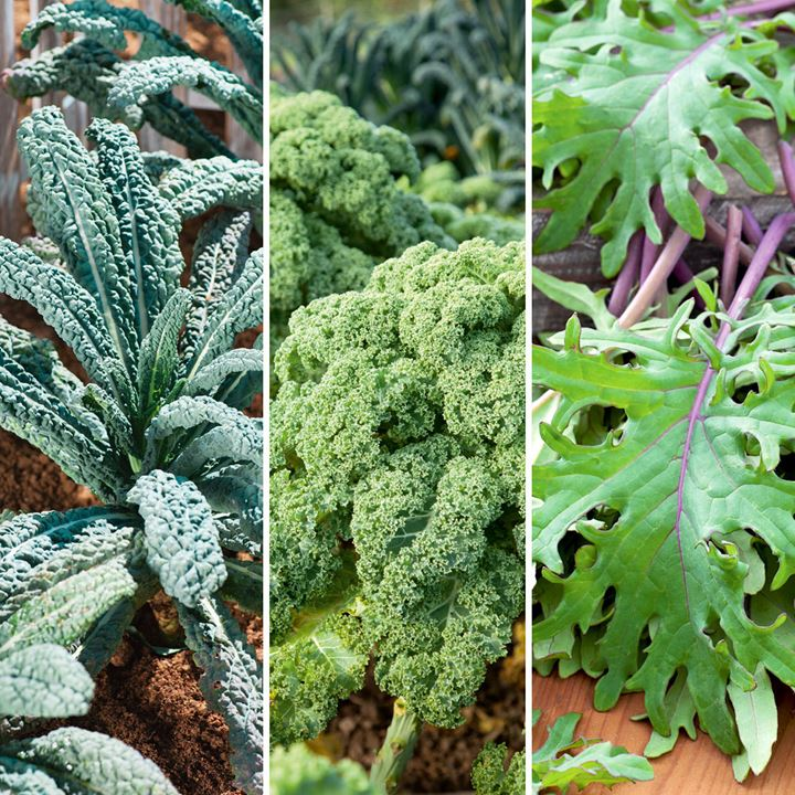 Kale Plants - Mixed Collection