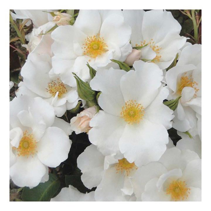 Rose Plant - Keros