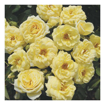 Rose Plant - Lemon Twist