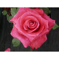 A classic hybrid tea, sturdy and upright with high quality flower-form and strong perfume in a fine traditional colour. Scent 6. Colour deep pink. Hei