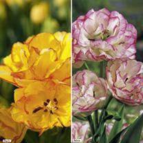 Tulip Bulbs - Multihead Twin Pack