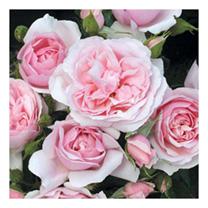 Rose Plant - Natasha Richardson