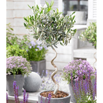 Olive Twisted Stem Tree