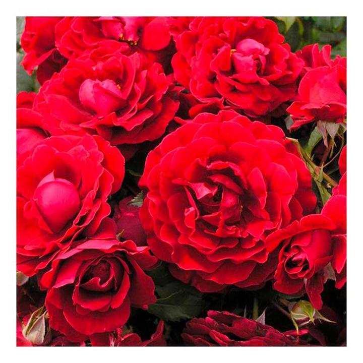 Rose Plant - Paisley Abbey