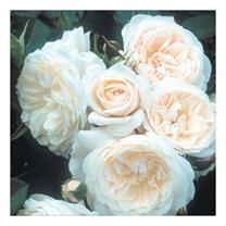 Rose Plant - Parky