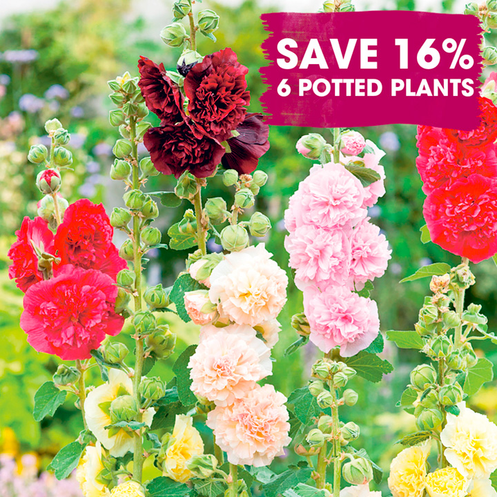 Perennial Plants - Chic Cottage Garden Collection