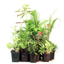 potted perennial plants